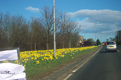 Daffodils on the road    (This photo is  from Flickr.com)