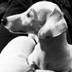 Puppy Mill Survivor ~ My Deaf & Blind Double Dapple Dachshund