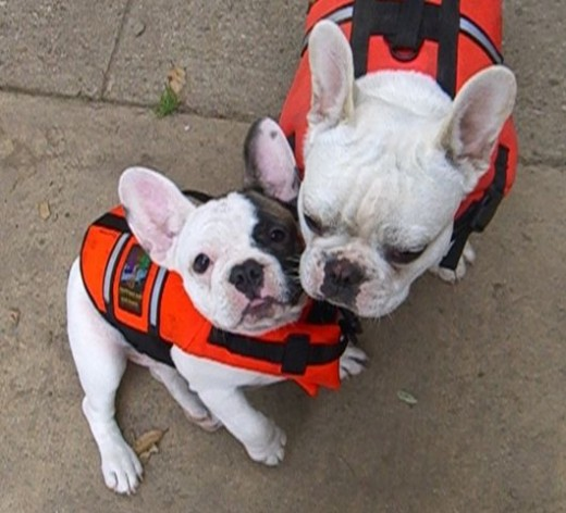 Angel and Gigi. We had a pool. This breed CANNOT SWIM. Hence, the life jackets. Today are pool is empty, no water.