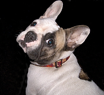 Gigi was my first girl and first breeding female. She is a fawn spotted French Bulldog.