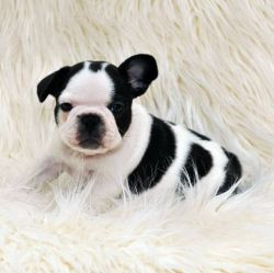 French Bulldog Puppy White Brindle Pied