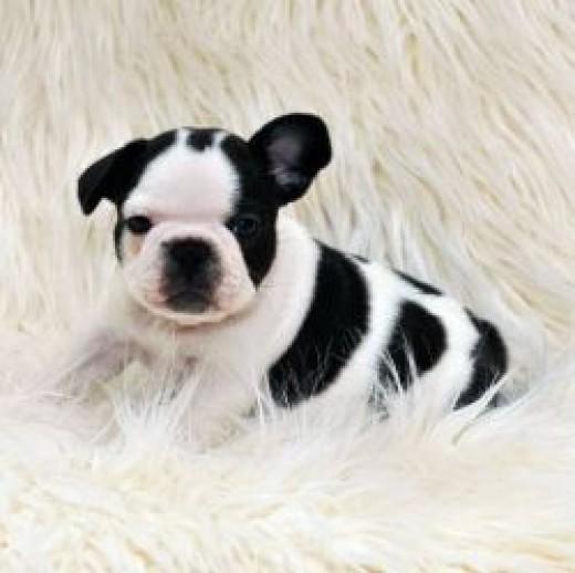 French Bulldog Puppy White Brindle Pied
