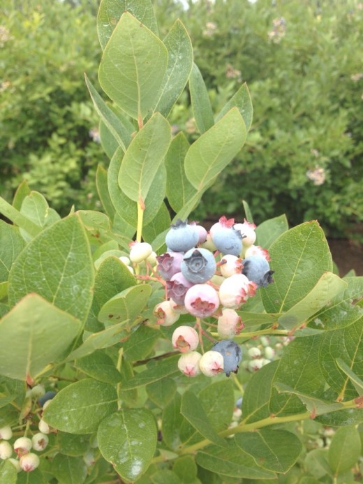 I just love picking blueberries.