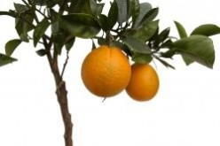 Citrus Tree Care Guide