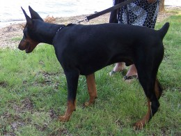 One of Leah's Friend-A Doberman Pincher
