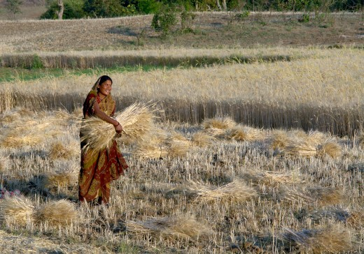 Woman harvesting wheat, Raisen district, Madhya Pradesh, India.