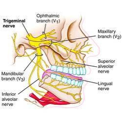 Click on picture for credit info (creative commons) and to read about the trigeminal nerve