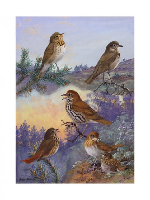A Painting of Several Species of Thrush and Veery - Available on Allposters