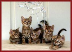 cat breeds, toyger cat, domestic tiger cat, furry cat