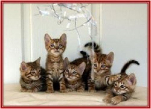 cat breeds, toyger cat, domestic tiger cat, furry cat