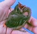 Baby Bird Help