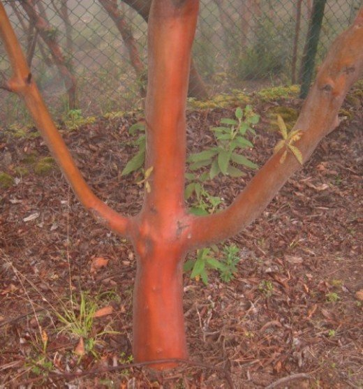 Copper-coloured Manzanita tree