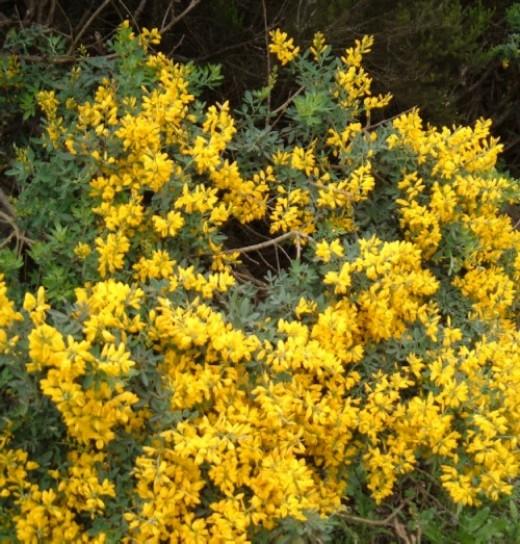 Teline bush