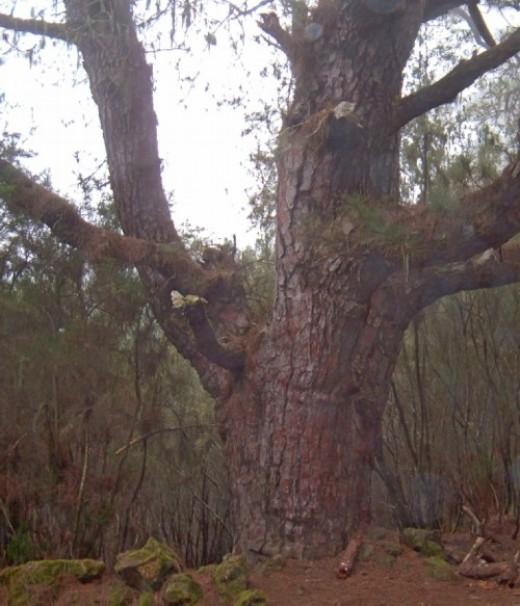 Ancient pine tree