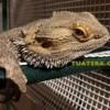 Cuidados del Dragon barbudo Pogona vitticeps