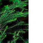 Tea tree oil comes from  leaves of the Australian Tea Tree