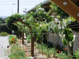Trellis for Grapes