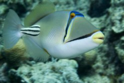 Saltwater aquarium fish: the Picasso Triggerfish