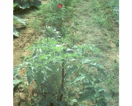Smaller Tomatoes with one branch support