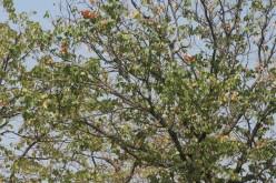 Colophospermum mopane.
