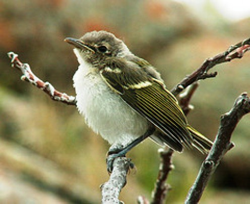 BLACK-CAPPED VIREO  (Photo by Aves Net at Flickr.com)