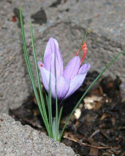 Saffron crocus in flower