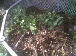 pea plants in compost pile