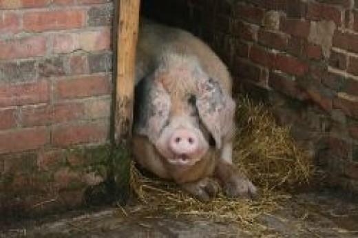 Rodney, a Gloucester Old Spot boar