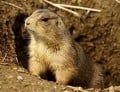 What's the difference between Gophers, Groundhogs and Prairie Dogs