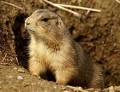 What's the Difference Between Gophers, Groundhogs and Prairie Dogs?