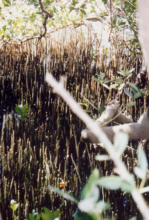 """Black mangroves produce specialized roots called pneumatophores, finger-like projections rising above the soil which help supply the submerged roots with oxygen.  Their leaves are also distinctive, dark green on top but almost white underneath."