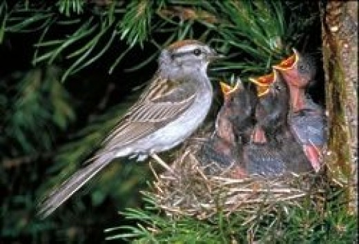 Chipping sparrow with young