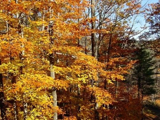 Foliage on Beech Tree