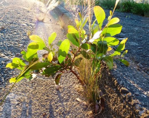 photo young green eucalypt tree gutter sunlight