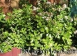 Jade Plant Growth and Care for Garden Favorite Drought Tolerant Plant Crassula Ovata