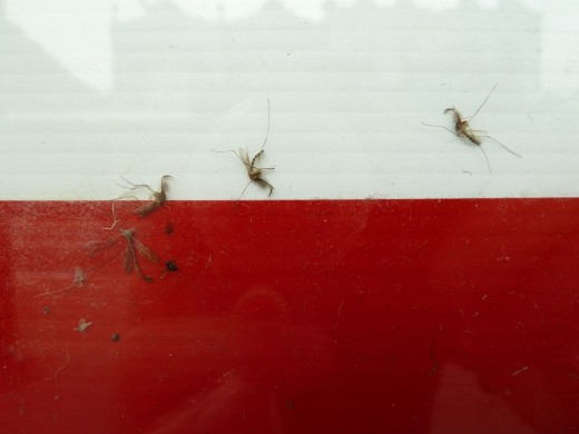 dead mosquitoes red white