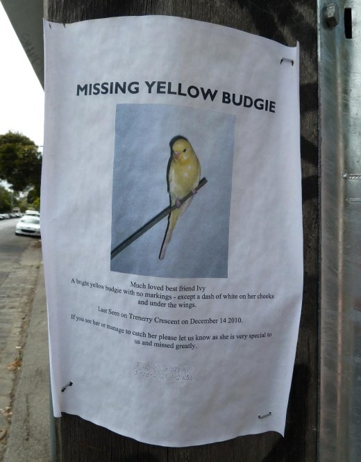 photo yellow missing pet budgie poster lamp post