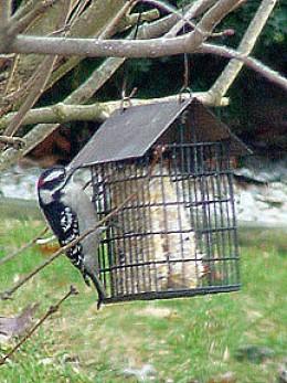 Downy woodpecker (photo by Peregrine Monet)