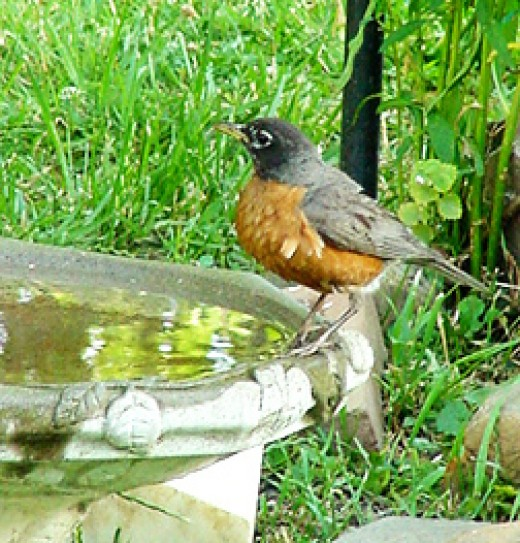American Robin (photo by Peregrine Monet)