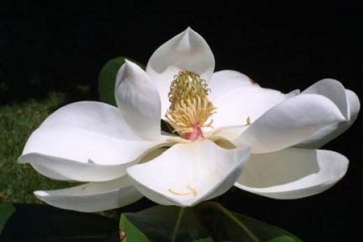 State Flower: Southern Magnolia (Photo by Steve Baskauf, US Forest Service)