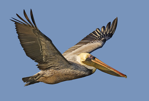 State Bird: Brown Pelican (Photo by Alan Wilson at naturespicsonline.com)