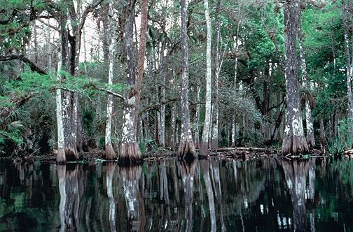 State Tree: Bald Cypress (Photo by Gary Stolz, US Fish & Wildlife)