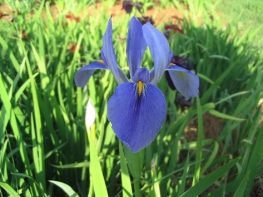 State Wildflower: Louisiana Iris - There are 5 native species but the Giant Blue Iris is the official wildflower. Irises grow in damp, marshy locations. (Photo by Rodney Barton, US Forest Service)