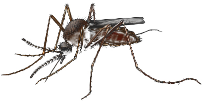 An Aedes Mosquito