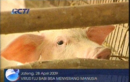 swine flu may infect human. courtesy RCTI