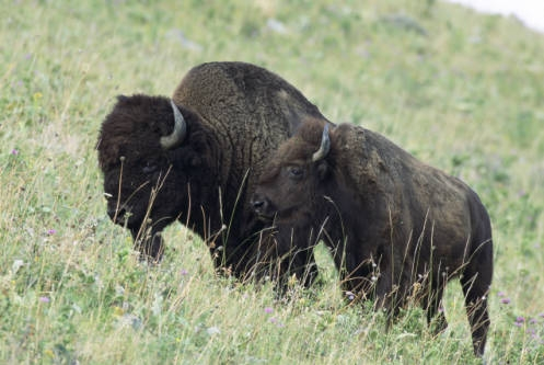 Kansas State Mammal: American Bison (Photo by Ryan Hagerty, USFWS)