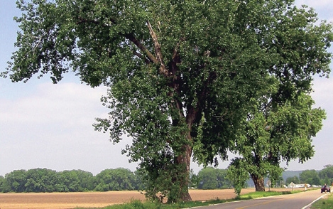 Kansas State Tree: Cottonwood (Photo courtesy of Kansas Historical Society)