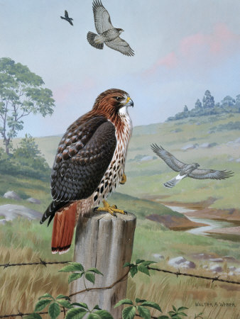 Red-Tailed Hawk Sits on Fence, Kingbird Chases Hawk Near Marsh Hawk  - Available on Allposters