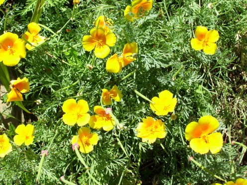 Poppies, like little boys, grow rapidly with loving care.