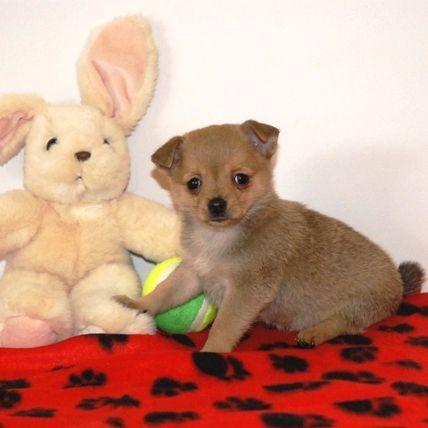 Pomchi boy and the bunny